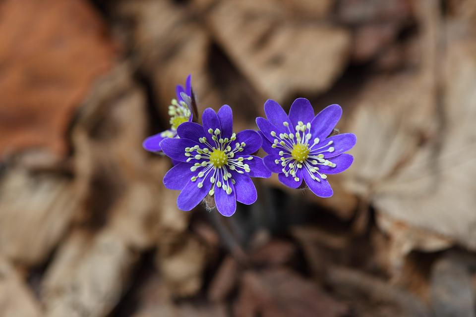 Liverwort, Wildflower, Flowers, Lilac, Blue, Nature