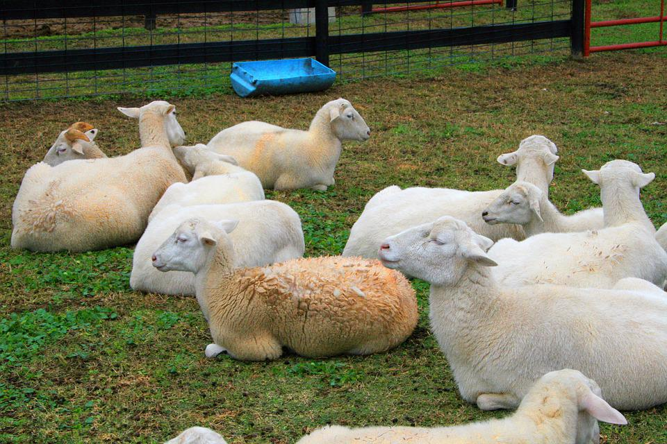 Sheep, Farm, Lamb, Livestock, Animals, Agriculture