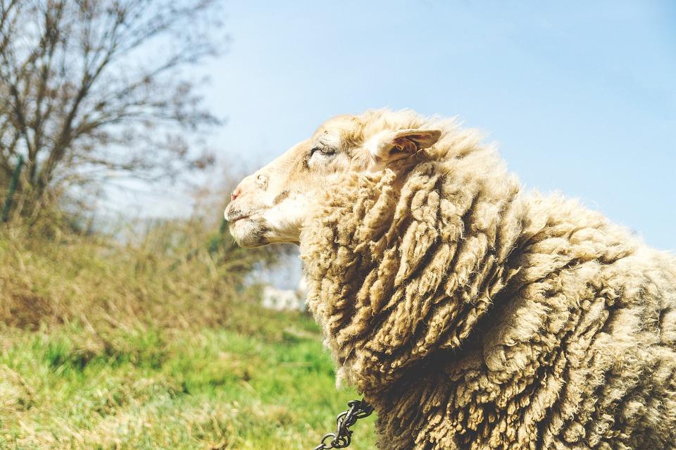 Sheep, Farm, Animal, Livestock, White, Nature, Lamb