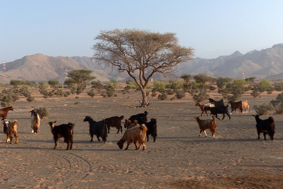 Desert, Goat, Oman, Goats, Animals, Livestock