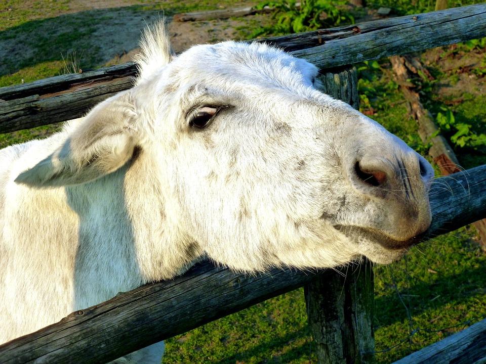 Donkey, Livestock, Beast Of Burden, Mammal, Fur