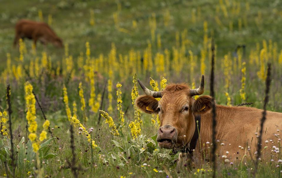 Animals, Cow, Livestock, Beef, Farm, Agriculture