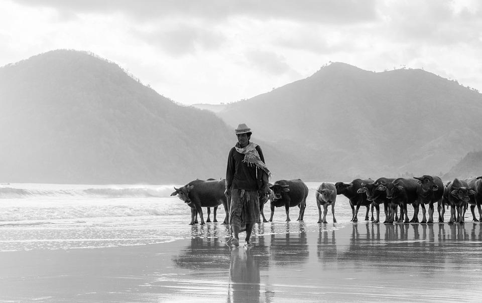 Man, Buffalo, Livestock, Animals, Mammals, Farmer
