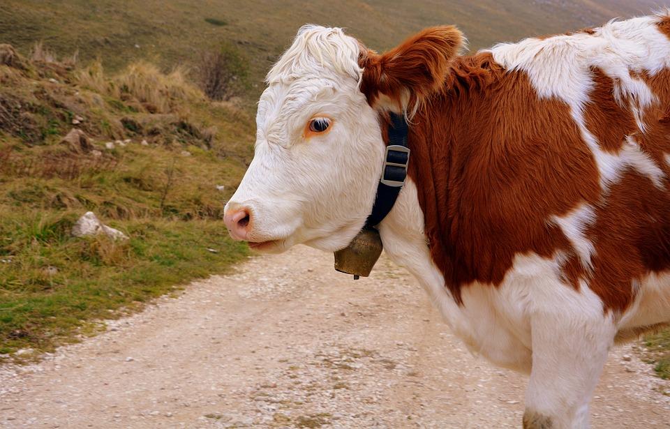 Cow, Bovino, Animal, Trail, Mountain, Cattle, Livestock