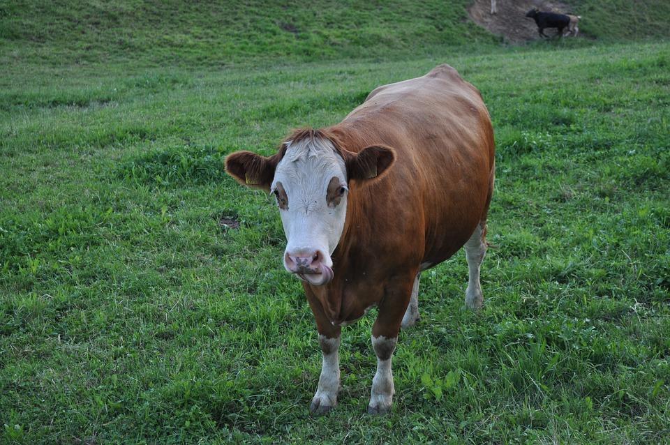 Cow, Beef, Pasture, Graze, Cows, Livestock, Milk Cow