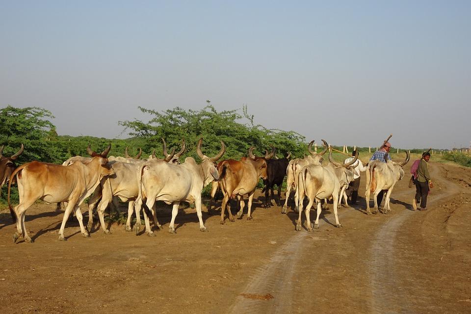 Cattle, Cows, Herd, Livestock, Herder, Herdsmen, Bovine
