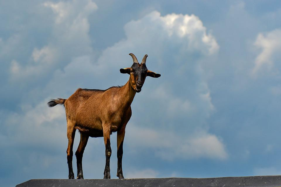 Goat, Nature, Horns, Domestic Goat, Livestock, Cattle