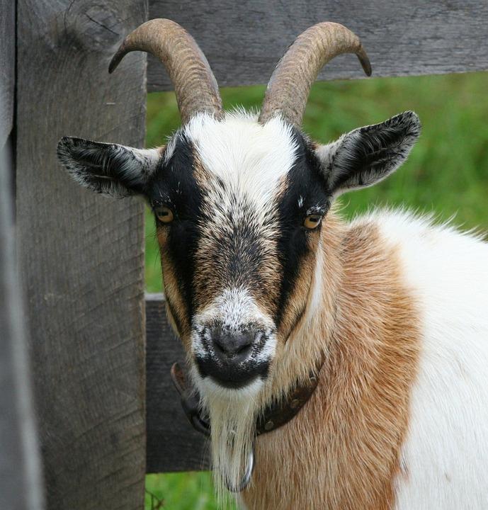 Goat, Boer Bok, Horns, Domestic, Ram, Livestock, Mammal