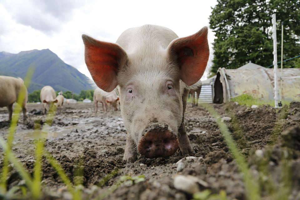Pig, Sow, Animal Portrait, Domestic Pig, Livestock