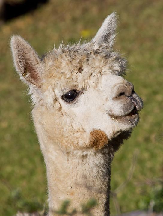 Alpaca, Animal, Farm, Livestock, Wool, Face