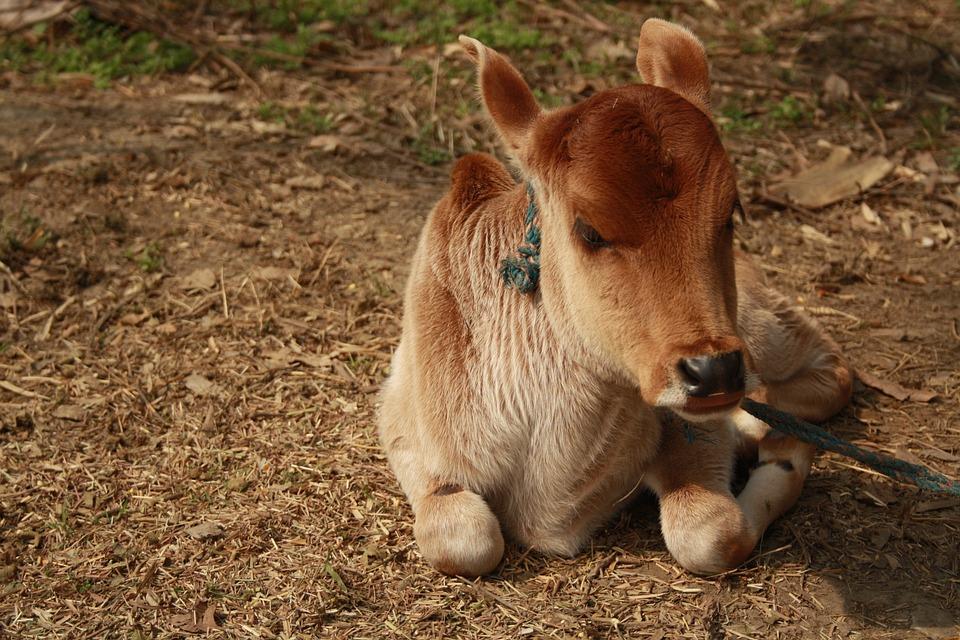 Mammal, Grass, Zoo, Farm, Cute, Livestock, Dog