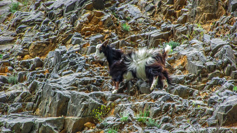 Goat, Animal, Cliff, Livestock, Adaptation, Nature