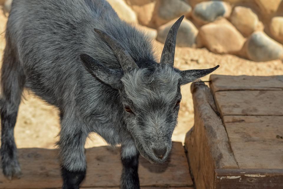 Goat, Animal, Horns, Mammal, Livestock, Nature, Farm