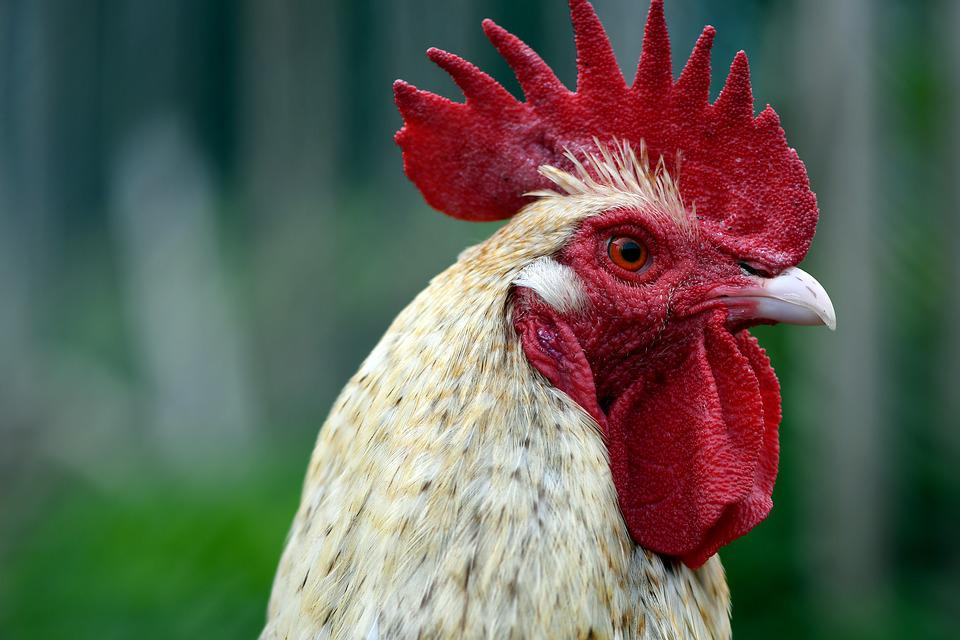 Hahn, Gockel, Farm, Poultry, Livestock, Rooster Head