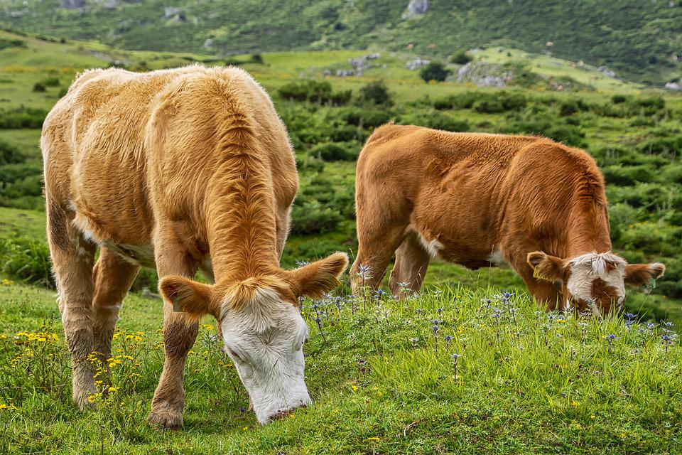 Animal, Pasture, Cows, Livestock, Meadow, Mountain