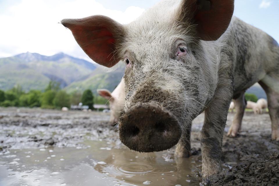 Pig, Sow, Animal Portrait, Domestic Pig, Livestock