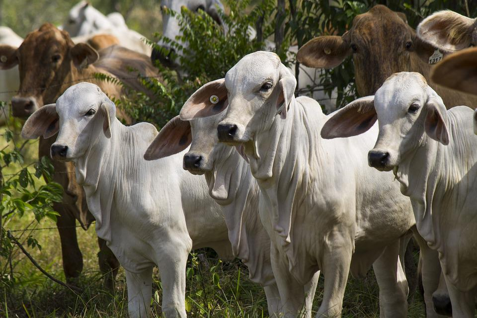 Calves, Livestock, Calves White, Animals, Cow, Veal