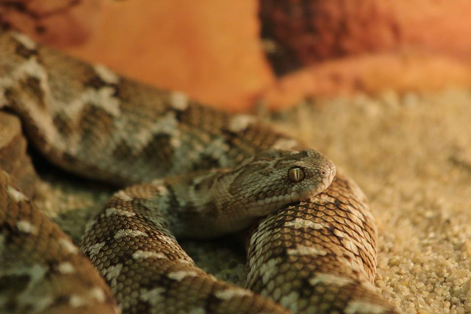 Snake, Reptile, Living Nature, Nature, Animals