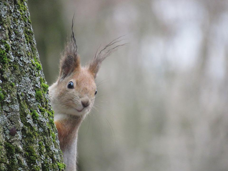 Nature, Living Nature, Mammals, Animals, Squirrel