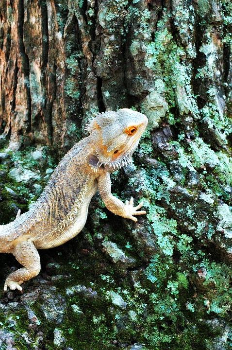 Lizard, Bearded Dragon, Reptile, Animal