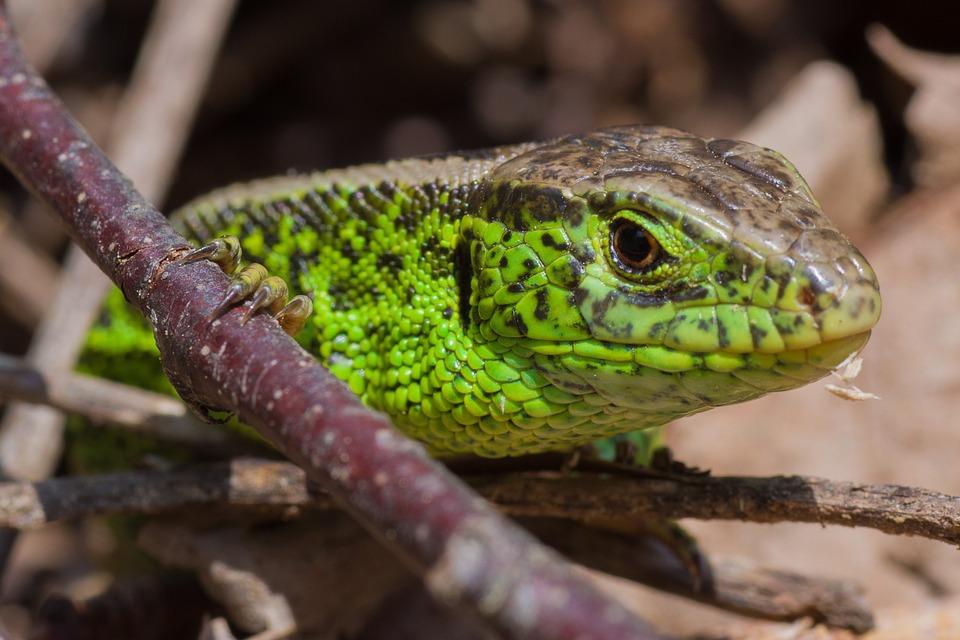 Lizard, Green, Dragon, Curious, Animal, Animal World