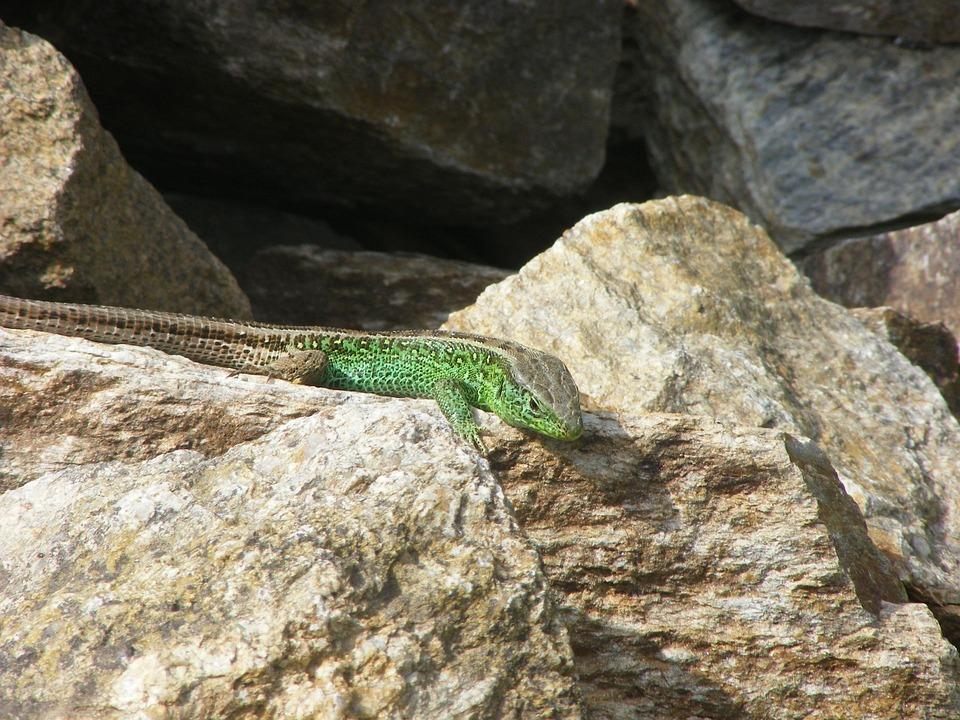Lizard, Sand Lizard, Animals, Nature, Green, Summer