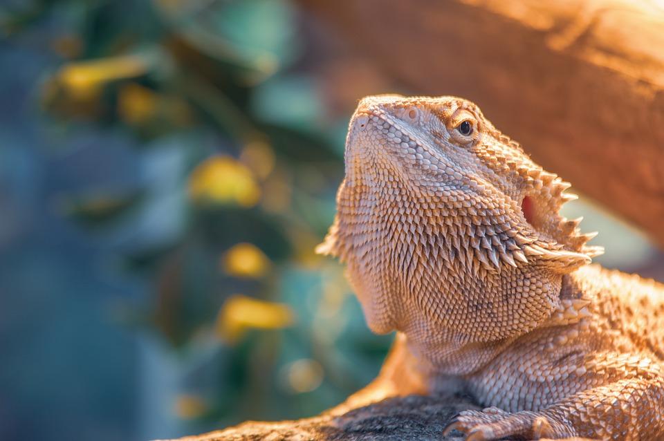 Bearded Dragon, Pet, Lizard, Dragon, Reptile, Wildlife