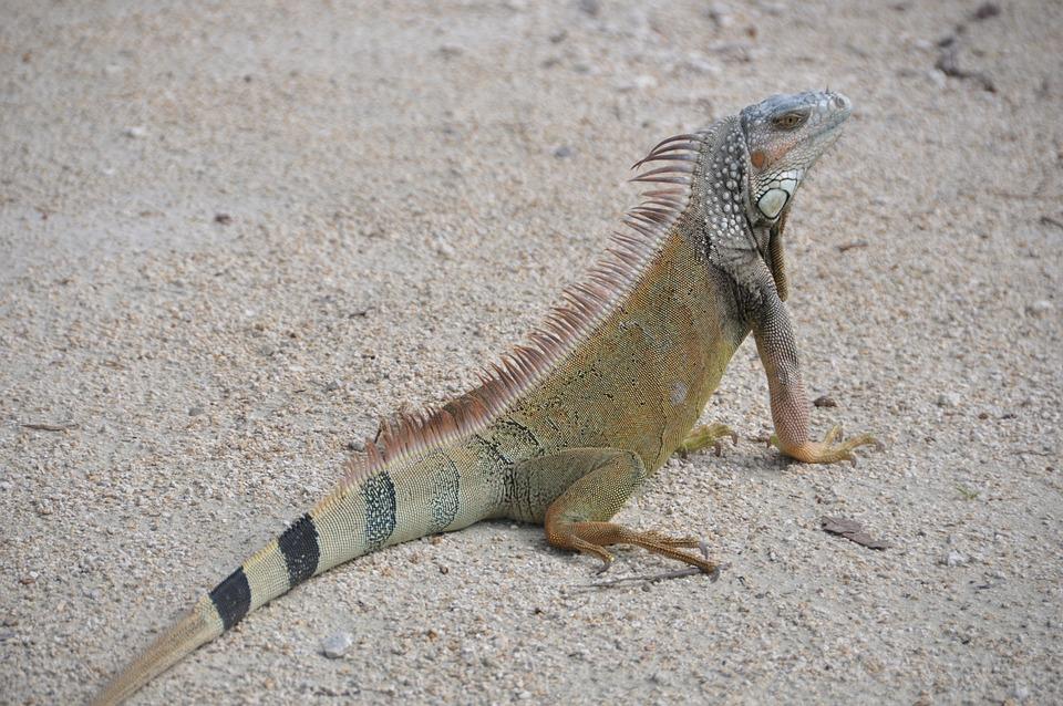 Iguana, Sand, Creature, Lizard, Reptile, Brown, Nature