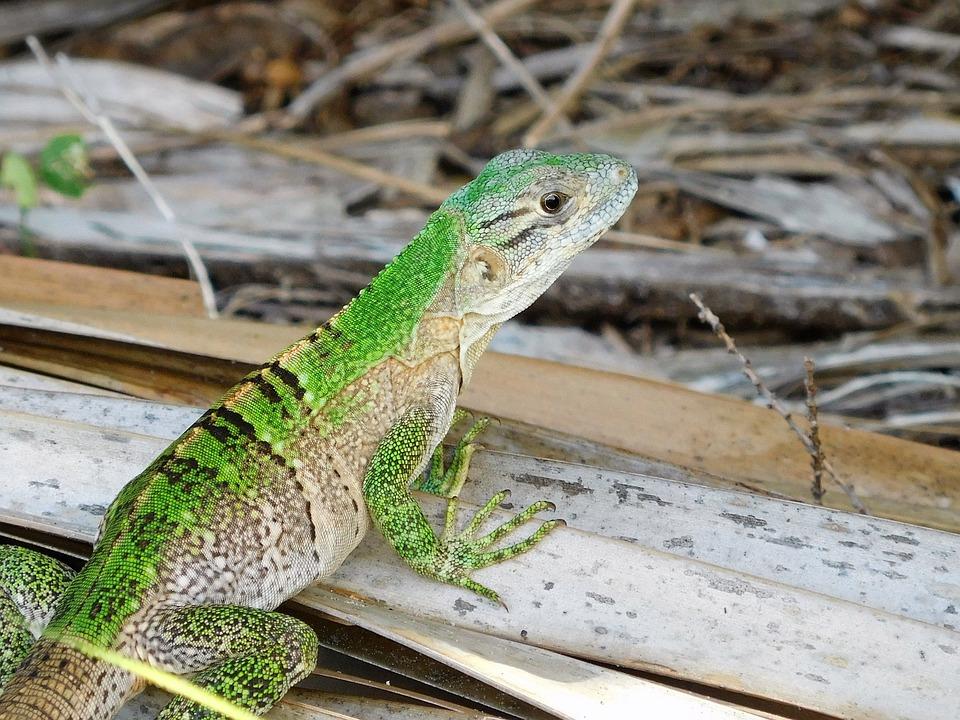 Lizard, Green Anole Lizard, Anole, Wildlife, Florida