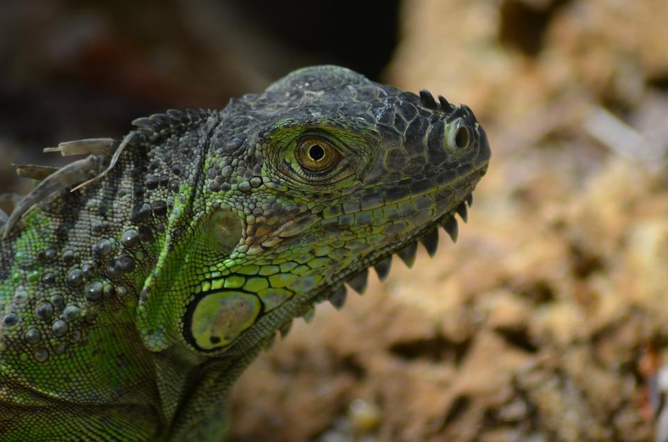 Green Iguana, Iguana, Green, Wild, Nature, Lizard