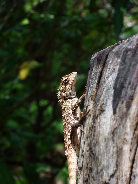 Lizard, Reptile, Animal, Nature, Wildlife, Wild, Iguana