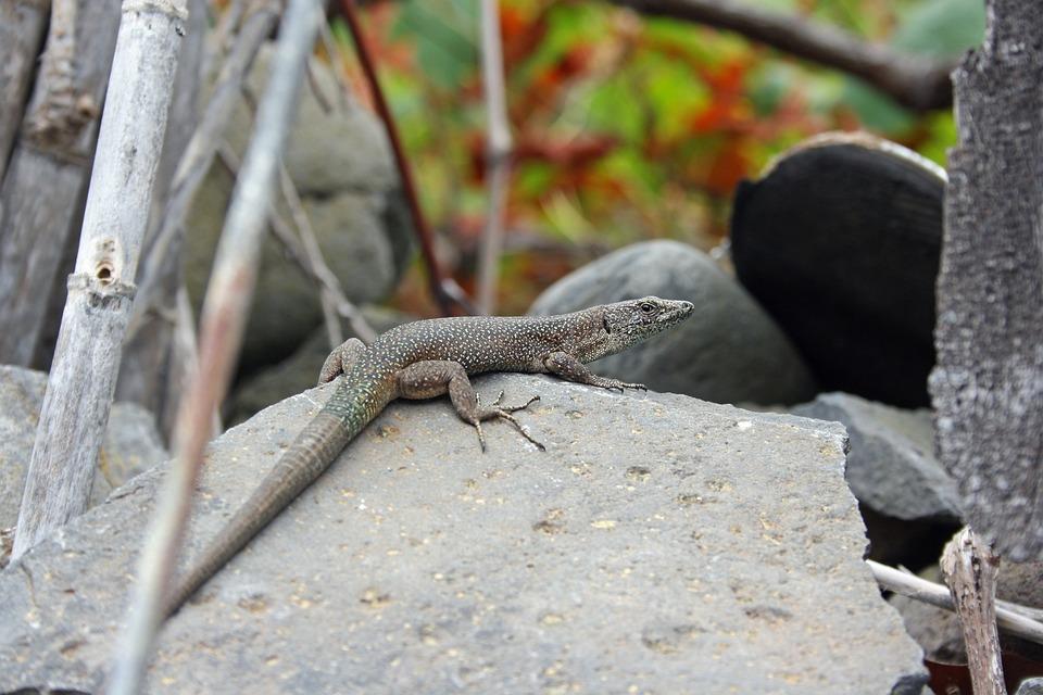 Lizard, Madeira, Nature
