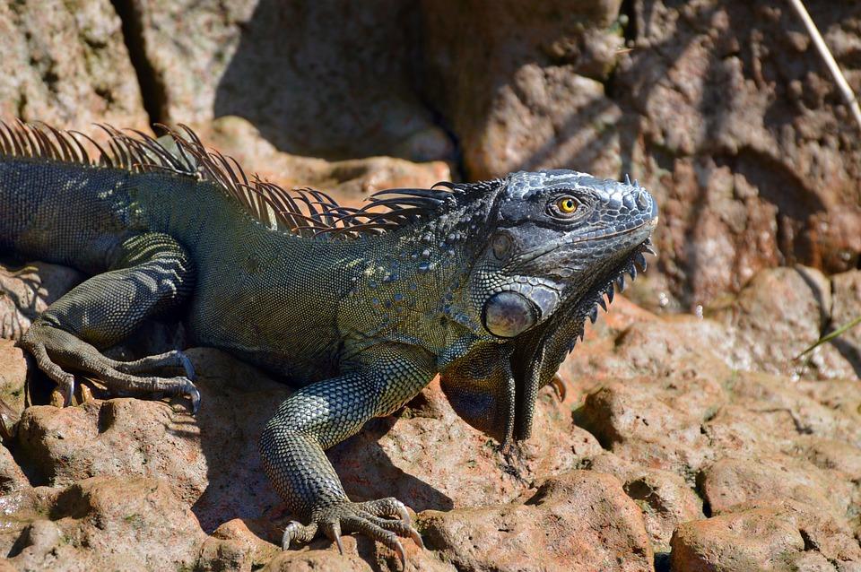 Nature, Reptile, Lizard, Animal, Wildlife, Outdoors