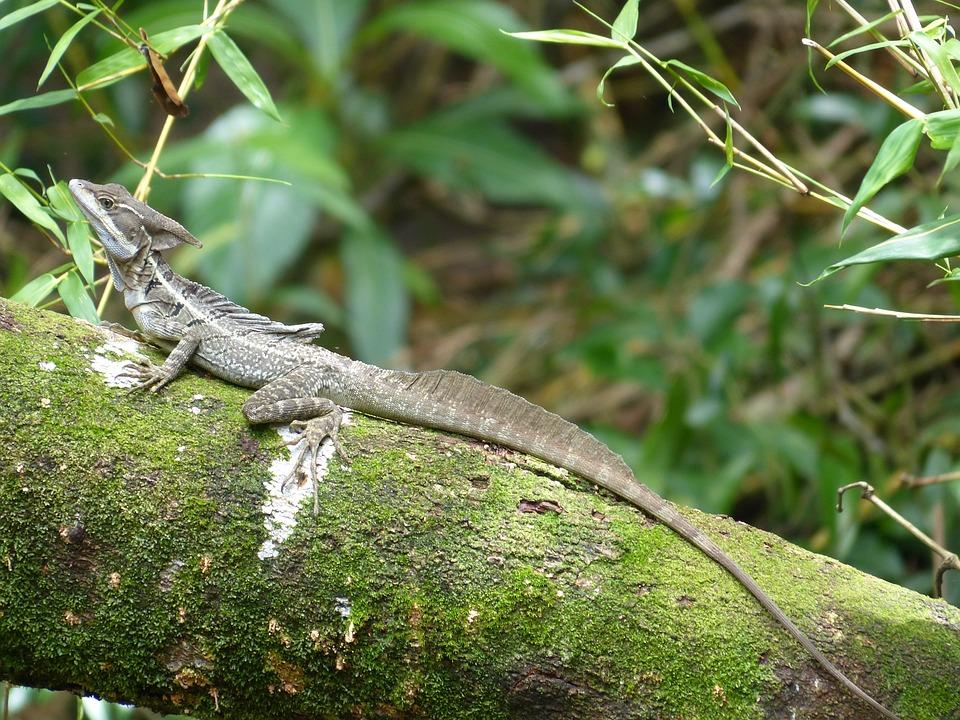 Basilisk, Basiliscus Basiliscus, Pacific Coast, Lizard