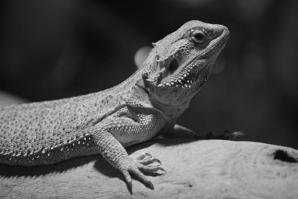 Bearded Dragon, Portrait, Prickly, Lizard, Animal World