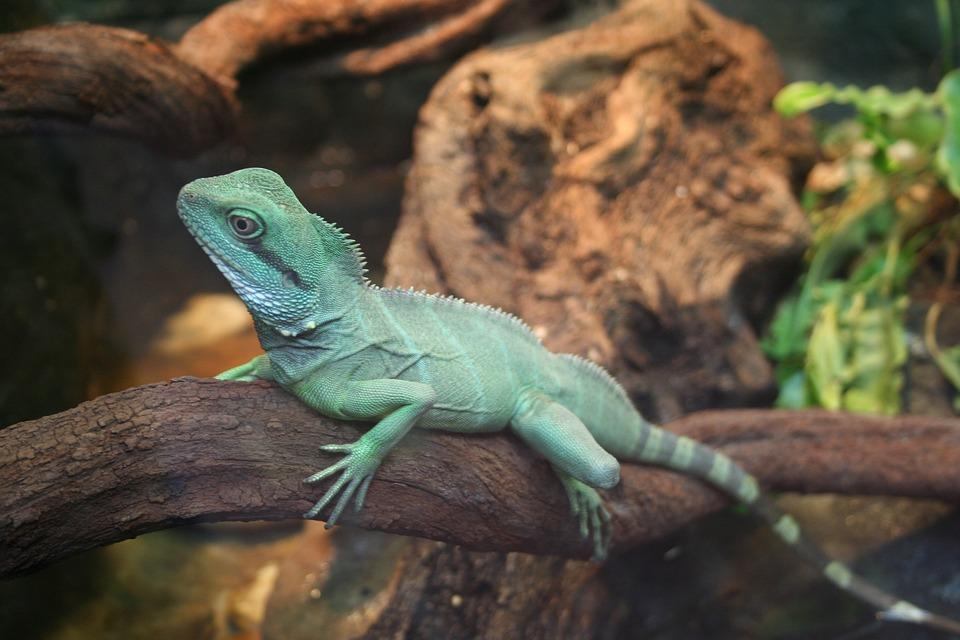 Lizard, Reptile, Bearded Dragon