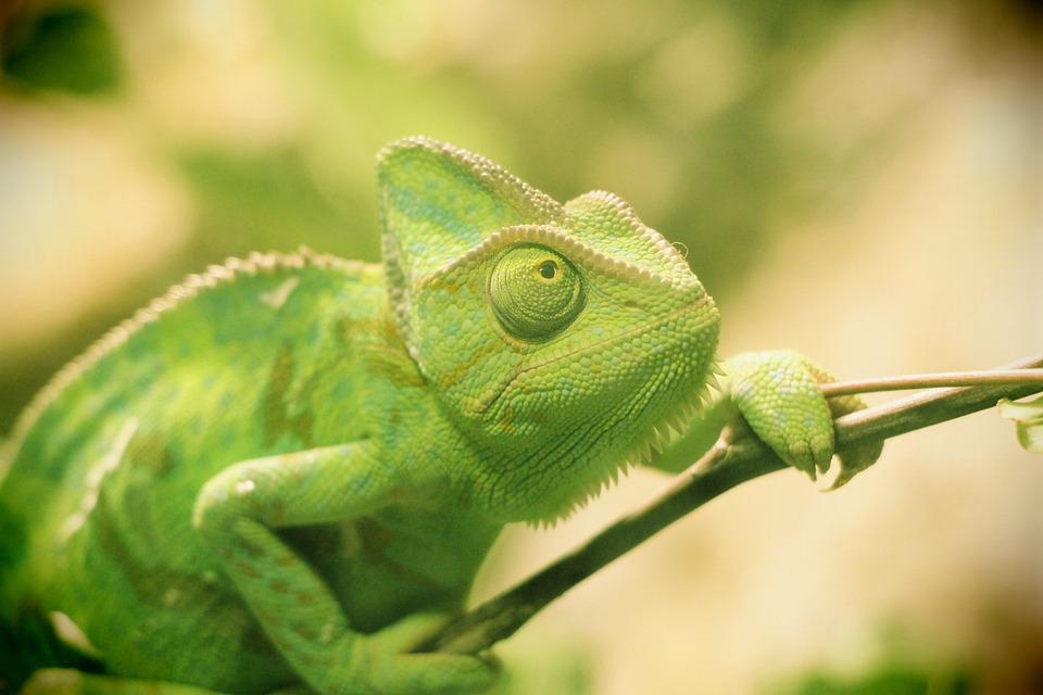 Reptile, Chameleon, Lizard, Branch