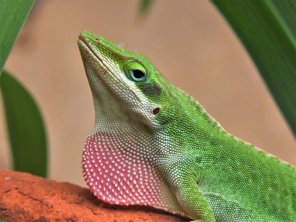 Lizard, Reptile, Wildlife, Nature, Tropical