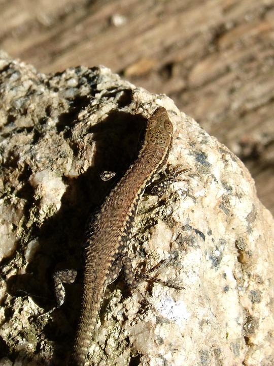 Lizard, Reptile, Stone
