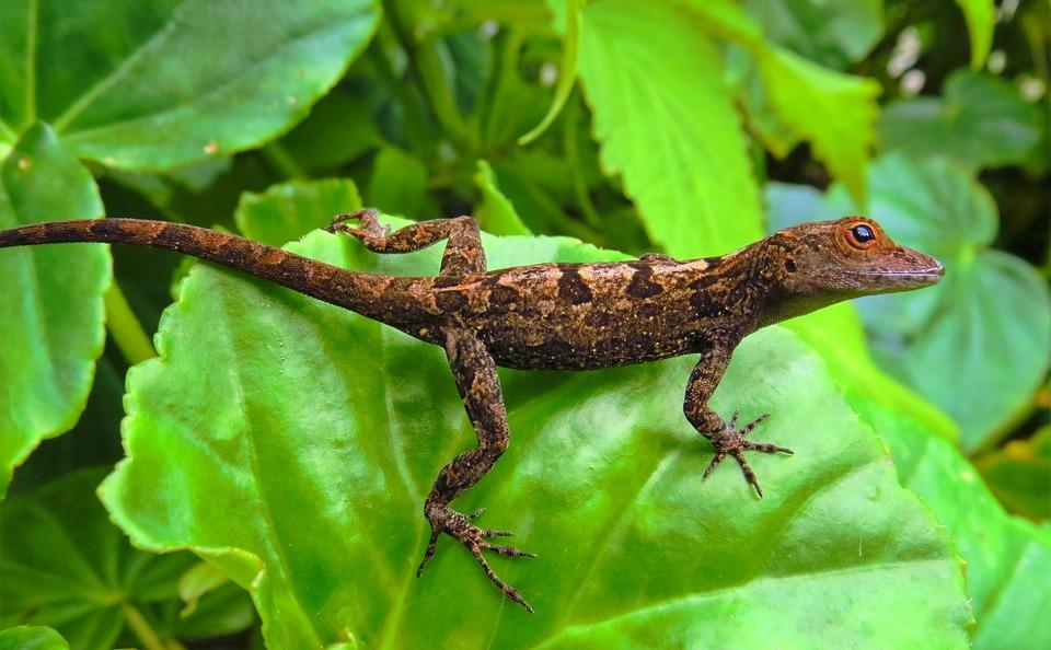 Lizard, Reptile, Nature, Wild Animals, Animal, Close-up