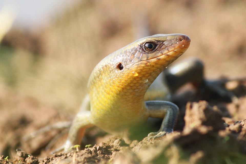 Lizard, Reptiles, Lizards Paddy