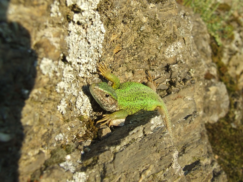 Lizard, Sand Lizard, Rock, Reptile, Animal, Nature
