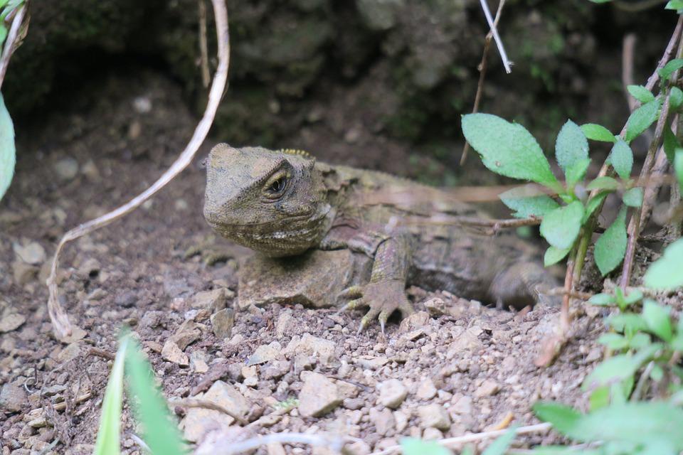 Nature, Animal, Wildlife, Outdoors, Reptile, Lizard