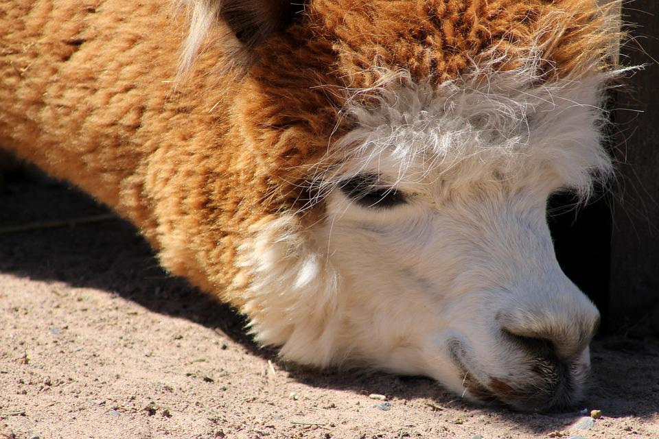 Llama, Zoo, Animal, Mammal, Peru, Fur, Alpaca