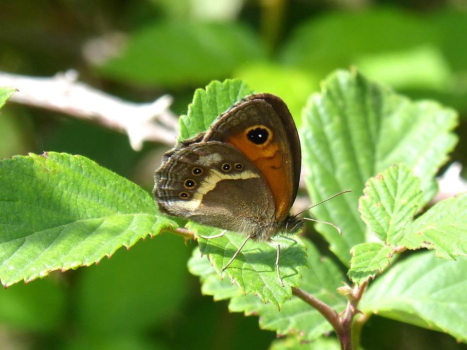 Lobito List, Butterfly, Pyronia Bathseba, Blackberry