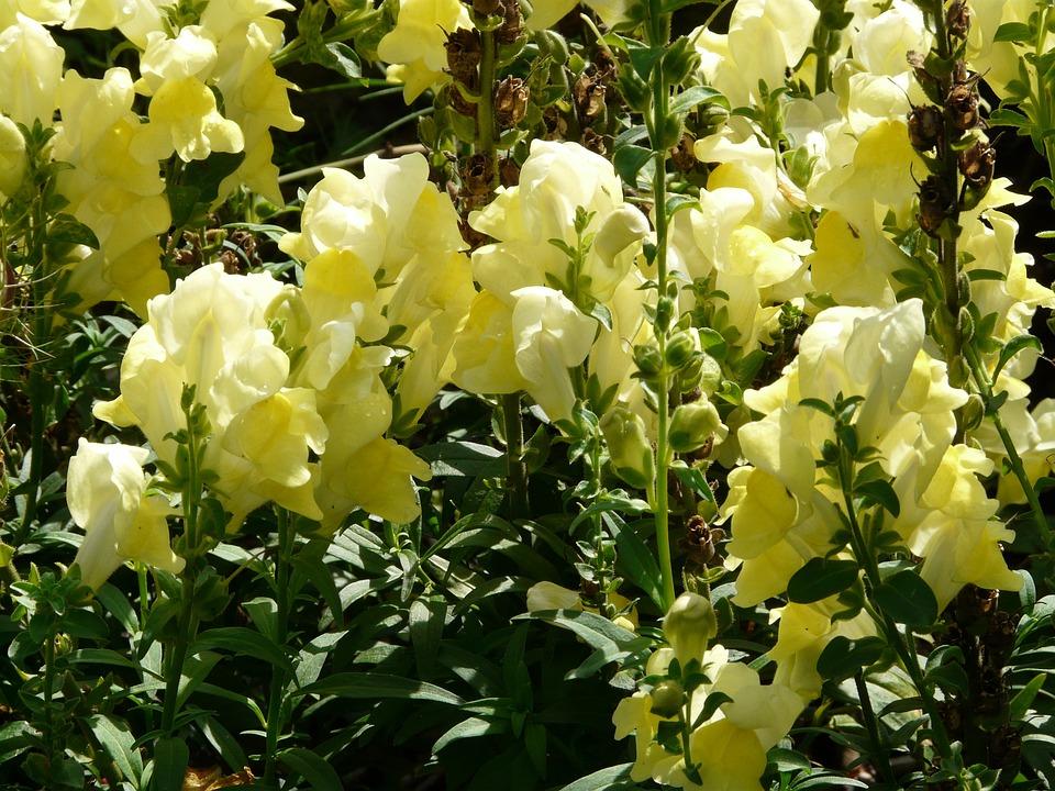 Loewenmaeulchen, Antirrhinum Majus, Blossom, Bloom