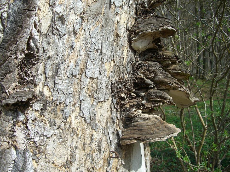 Tree Fungus, Baumschwamm, Log