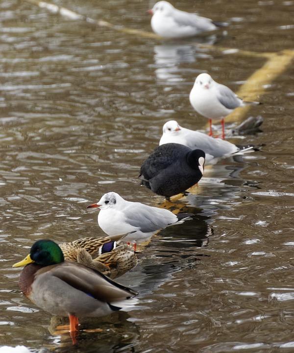 Birds, Ducks, Seagulls, Coot, Water, Lake, Nature, Log