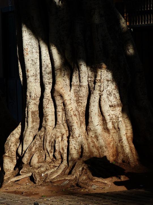 Tree, Log, Root, Tribe, Large, Massive, Laurel Tree
