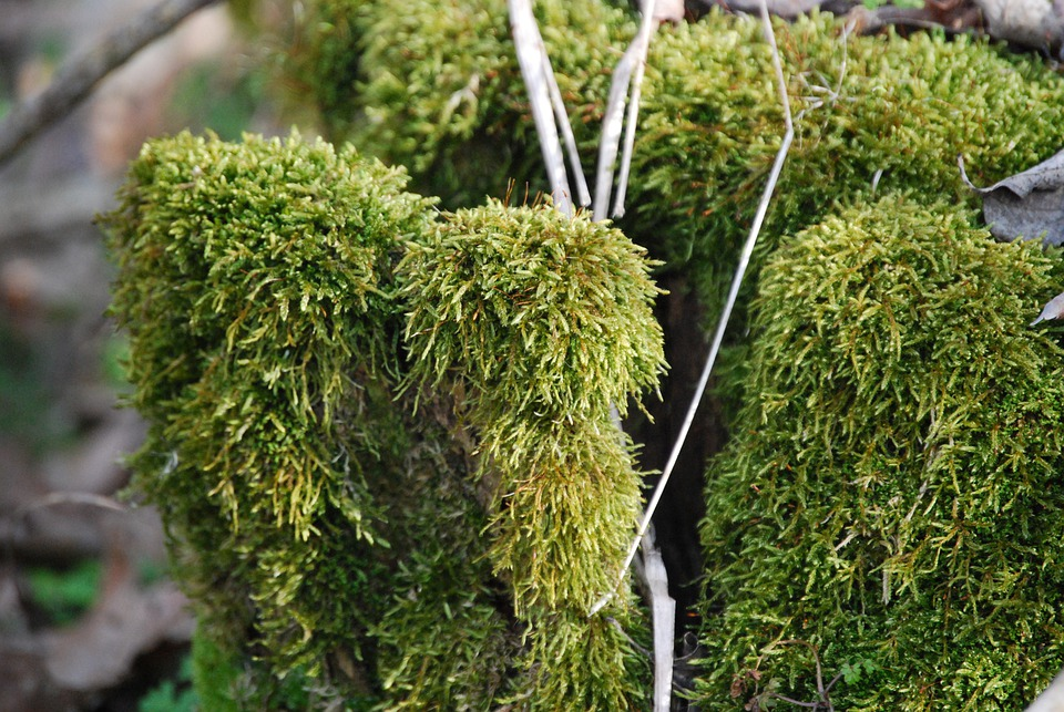 Forest, Log, Moss, Mohapárna, Wood, Stump